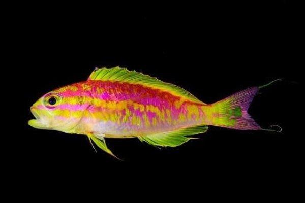 ماهی نئون,اخبار علمی,خبرهای علمی,طبیعت و محیط زیست