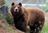 خرس قهوه ای,اخبار علمی,خبرهای علمی,طبیعت و محیط زیست