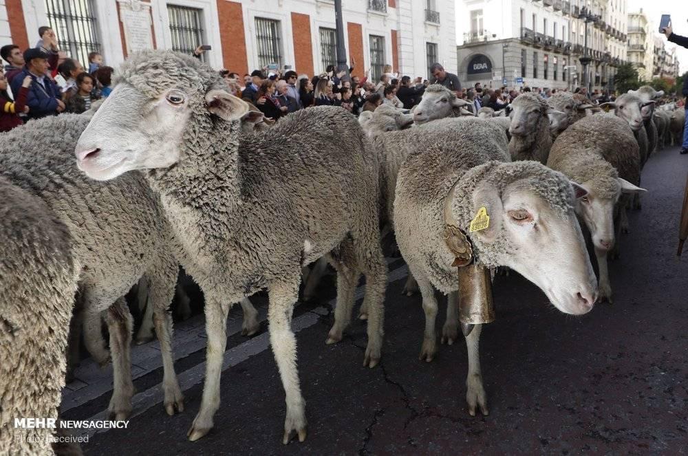 تصاویر رژه گوسفندان در اسپانیا,عکس های جشنواره ترانشومانسه,عکسهای رژه گوسفندان در مادرید