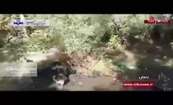 ویدئو/ حمله گراز وحشی به پیرمرد زنجانی!