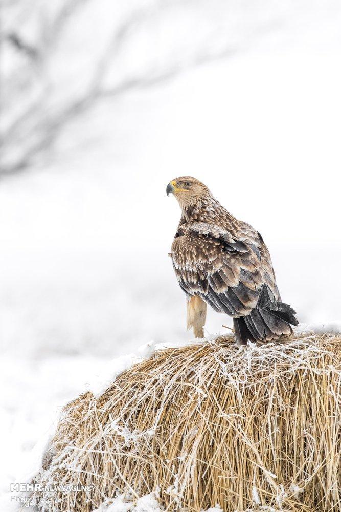 تصاویرعقابها,عکس های گونه های مختلف عقاب,تصاویرزندگی عقابها
