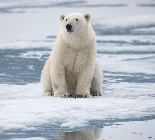 انقراض خرسهای قطبی,اخبار علمی,خبرهای علمی,طبیعت و محیط زیست