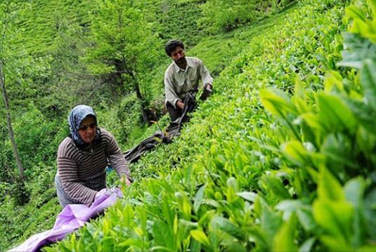 چای,اخبار اقتصادی,خبرهای اقتصادی,کشت و دام و صنعت
