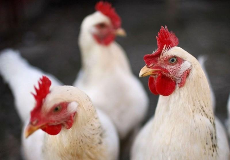 اتحادیه فروشندگان پرنده و ماهی: خرید و فروش مرغ زنده بیشتر از ۸۷۰۰ تومان در تهران پیگرد قانونی جدی دارد
