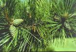 درختان کاج,اخبار علمی,خبرهای علمی,طبیعت و محیط زیست
