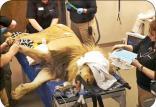 آزمایش آنلاین شیر جنگل,اخبار جالب,خبرهای جالب,خواندنی ها و دیدنی ها