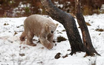 عکس خرس قطبی،تصاویرخرس قطبی,عکس خرس قطبی درحیات وحش هایلند