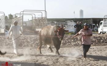 تصاویر گاو بازی در امارات,عکس های گاو بازی,تصاویر تفریحات اهالی فجیره امارات