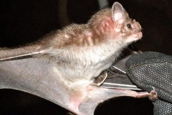 خفاش,اخبار پزشكي,خبرهاي پزشكي,تازه هاي پزشكي