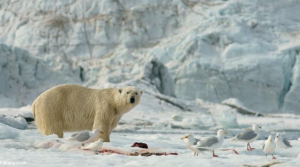 خرس قطبی و مرغ دریایی,اخبار جالب,خبرهای جالب,خواندنی ها و دیدنی ها