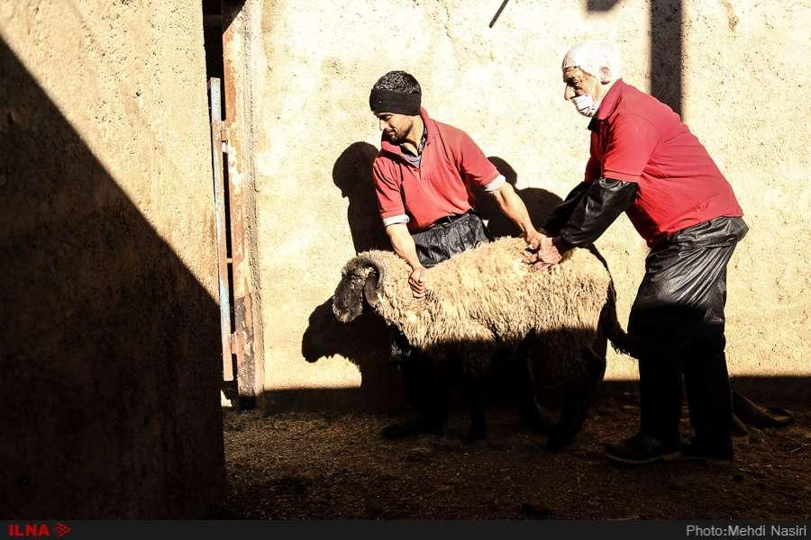 تصاویر واردات گوسفند رومانی,عکس های واردات دام زنده,عکسهای واردات گوشت قرمز