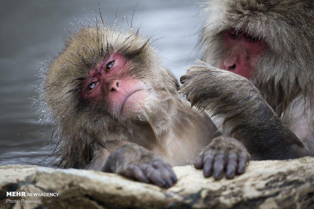 تصاویر میمون های ماکاک,عکس های میمون های ماکاک,عکسهای آبتنی میمون های ماکاک
