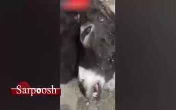فیلم/ کشتار الاغها در استان اصفهان