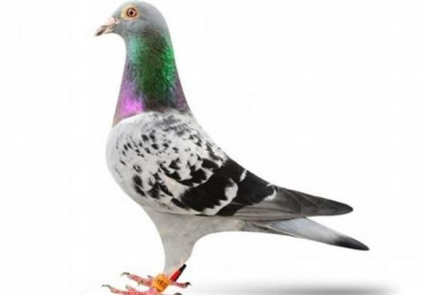 کبوتر بلژیکی,اخبار جالب,خبرهای جالب,خواندنی ها و دیدنی ها