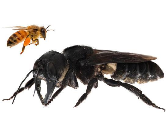 بزرگترین زنبور دنیا,اخبار علمی,خبرهای علمی,طبیعت و محیط زیست