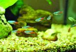 ماهی سفره هفت سین,اخبار علمی,خبرهای علمی,طبیعت و محیط زیست