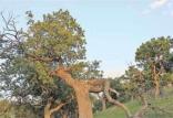 جنگل های بلوط,اخبار علمی,خبرهای علمی,طبیعت و محیط زیست