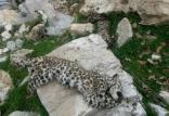 مرگ توله پلنگ ایرانی,اخبار علمی,خبرهای علمی,طبیعت و محیط زیست