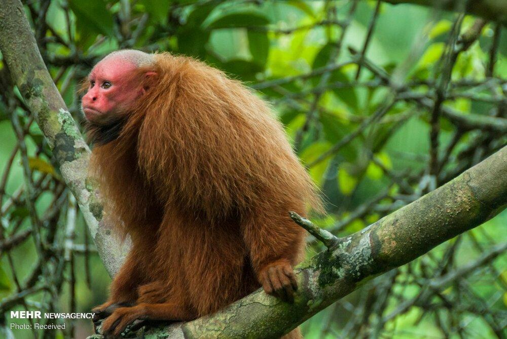 تصاویرجانداران ساکن آمازون,تصاویرجانداران آمازون,عکسهای جانداران ساکن آمازون