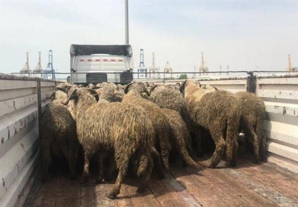 گوسفندهای دمدراز وارداتی,اخبار اقتصادی,خبرهای اقتصادی,کشت و دام و صنعت