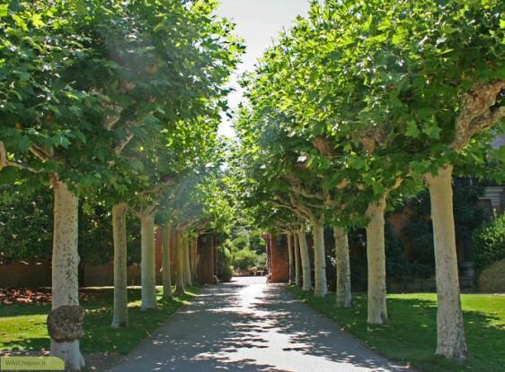 درخت چنار,اخبار علمی,خبرهای علمی,طبیعت و محیط زیست