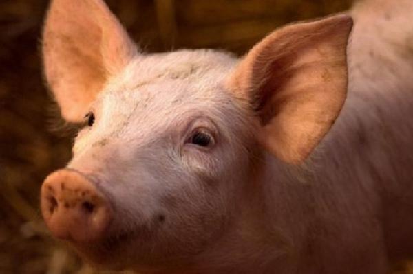 مغز خوک,اخبار پزشکی,خبرهای پزشکی,تازه های پزشکی