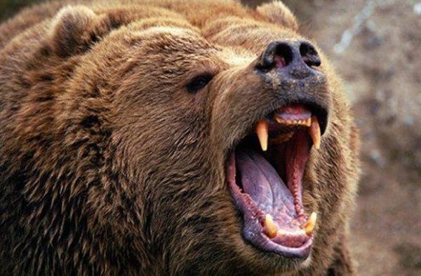 خرس,اخبار حوادث,خبرهای حوادث,حوادث امروز