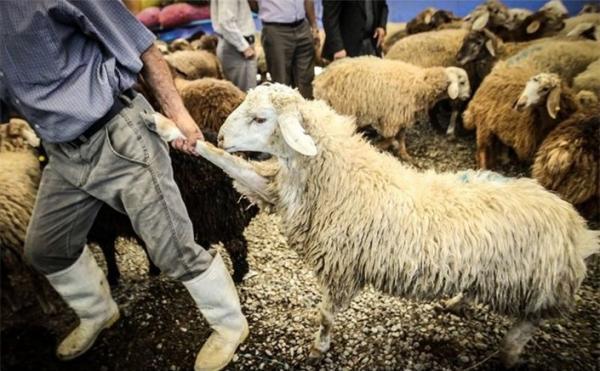 گوسفند,اخبار اقتصادی,خبرهای اقتصادی,کشت و دام و صنعت