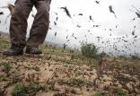 هجوم ملخها,اخبار علمی,خبرهای علمی,طبیعت و محیط زیست