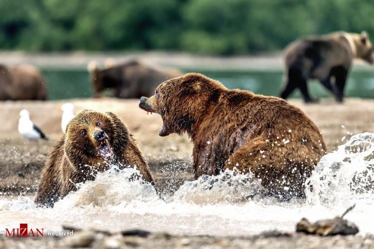 عکس نزاع خرسها,تصاویر نزاع خرسها,عکس خرس