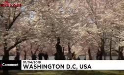 فیلم/ فرا رسیدن فصل شکوفههای گیلاس در واشنگتن