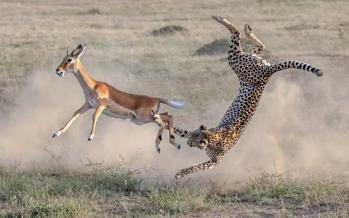 تصاویر شکار ناموفق یوزپلنگ در کنیا,عکس های شکار توسط یوزپلنگ در کنیا,تصاویری از پارک ملی ماسایی مارا کنیا