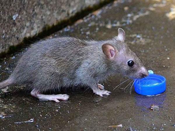 موش,اخبار جالب,خبرهای جالب,خواندنی ها و دیدنی ها