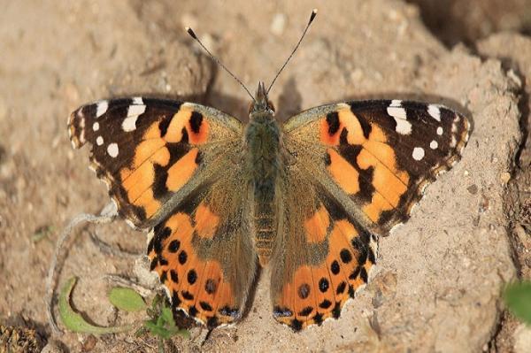 پروانه,اخبار علمی,خبرهای علمی,طبیعت و محیط زیست