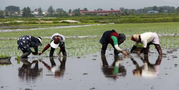 کاشت برنج,اخبار اقتصادی,خبرهای اقتصادی,کشت و دام و صنعت