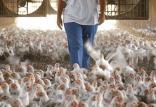 قیمت فروش گوشت مرغ,اخبار اقتصادی,خبرهای اقتصادی,کشت و دام و صنعت