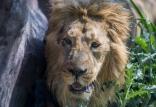 شیر ایرانی,اخبار علمی,خبرهای علمی,طبیعت و محیط زیست