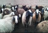 قاچاق گوسفند,اخبار اقتصادی,خبرهای اقتصادی,کشت و دام و صنعت