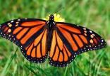 پروانههای خانم قشنگ,اخبار علمی,خبرهای علمی,طبیعت و محیط زیست
