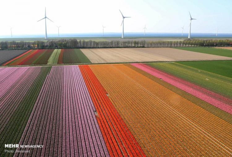 عکس مزرعه گل لاله,تصاویر مزرعه گل لاله,عکس مزرعه گل لاله در هلند