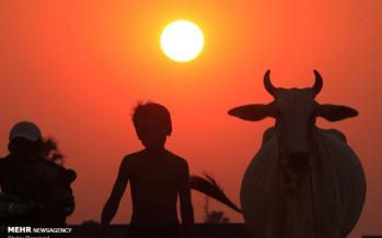 تصاویر همزیستی انسان ها و گاوها,تصاویر دیدنی,عکس های زیبا از گاوها