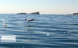 تصاویر فلامینگوها در دریاچه ارومیه,عکس های پرواز فلامینگوها بر فراز دریاچه ارومیه,تصاویر دریاچه ارومیه
