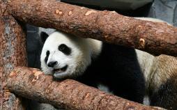 تصاویر پانداهای زیبای باغ وحش مسکو,عکس های پاندا در باغ وحش روسیه,باغ وحش مسکو