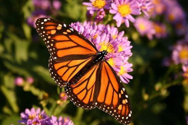 پروانهها,اخبار علمی,خبرهای علمی,طبیعت و محیط زیست