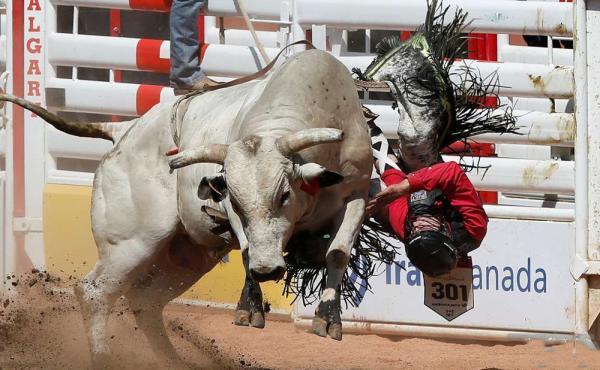 مسابقه ی گاوهای وحشی استرالیا,اخبار جالب,خبرهای جالب,خواندنی ها و دیدنی ها