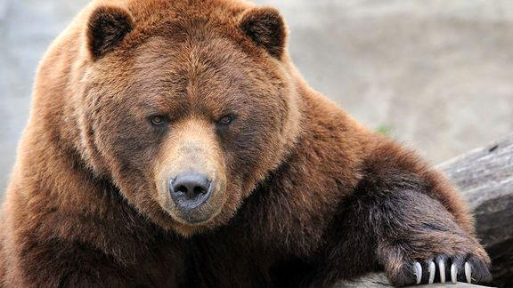 قتل توله خرس سوادکوهی,اخبار علمی,خبرهای علمی,طبیعت و محیط زیست