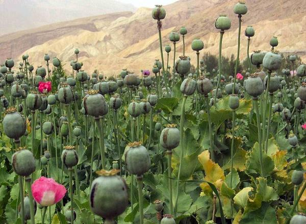 کشت تریاک در جنگلهای فارس,اخبار علمی,خبرهای علمی,طبیعت و محیط زیست