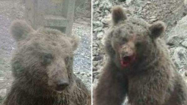 توله خرس تلف شده در سوادکوه,اخبار اجتماعی,خبرهای اجتماعی,حقوقی انتظامی