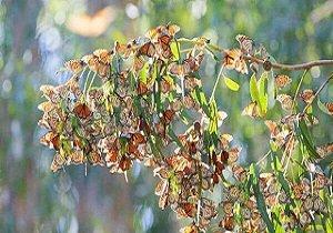افزایش جمعیت پروانه ها در ایران,اخبار علمی,خبرهای علمی,طبیعت و محیط زیست