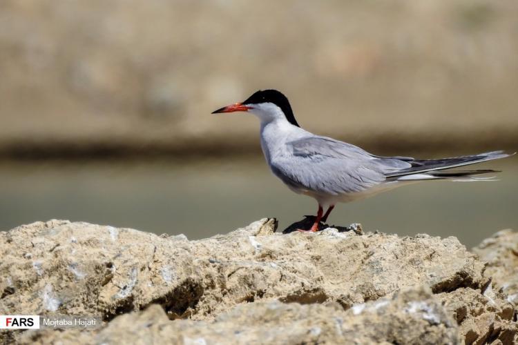 تصاویر پرندگان به حاشيه درياچه سد زايندهرود,عکس های مهمانان سد زايندهرود,تصاویر سد زايندهرود در چادگان